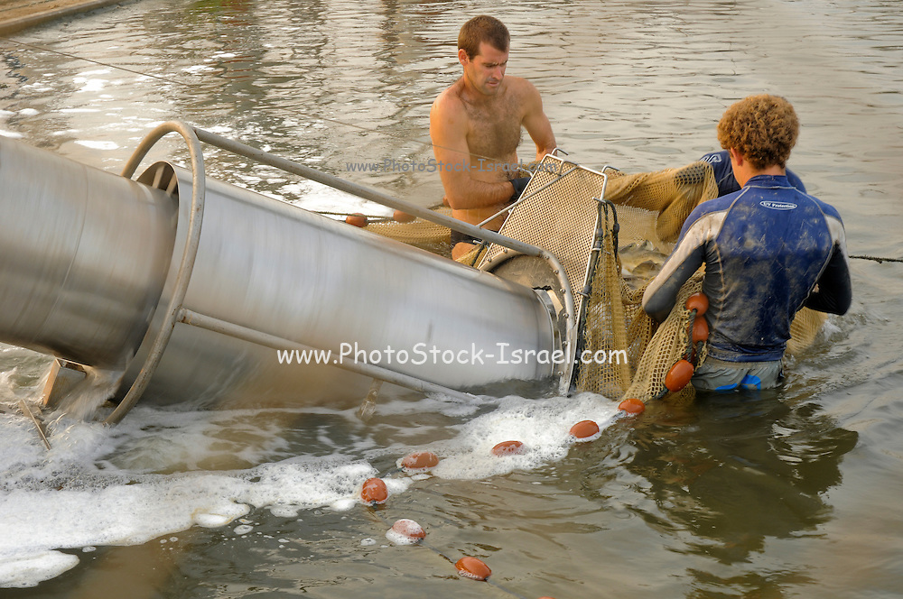 Israel, Coastal Plains, Kibbutz Maagan Michael, Harvesting fish from an intensive growing pool of Red Drum (Sciaenops ocellatus) The lifting screw lifts the collected fish out of the pond into a container to be transported to the backing plant