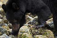 Black bear female, Ursus americanus, Tofino, Clayoquot sound, British Columbia, Canada, North America
