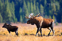 Bull and cow moose