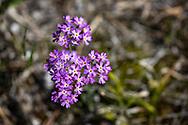 VIKEKÄRRET 2020<br /> Majviva.<br /> Bilder från orkidéepromenad i Vikekärret på Rödön.<br /> Foto:Per Danielsson/Projekt.P