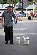Israel, Tel Aviv, The International Dog Show 2010 Man walking two miniature poodles