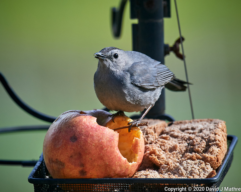 Gray Catbird. Image taken with a Nikon D5 camera and 600 mm f/4 VR lens (ISO 560, 600 mm, f/5.6, 1/1250 sec)