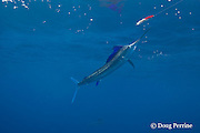 Atlantic sailfish, Istiophorus albicans ( considered by some to be a single species worldwide, Istiophorus platypterus ), chases a (hookless) teaser lure, off Yucatan Peninsula near Contoy Island and Isla Mujeres, Mexico ( Caribbean Sea )