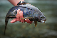an angler releases a fly caught arctic grayling in the Jack River, Alaska