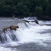 Alaskan brown bear (Ursus middendorffi) sow and cubs fishing for salmon at Brooks River, Alaska.