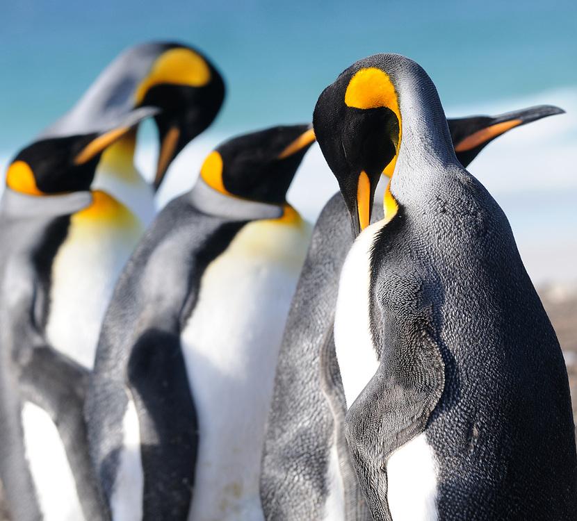 King penguins (Aptenodytes patagonicus).  Saunders Island, Falkland Islands. South Atlantic. 15Feb16