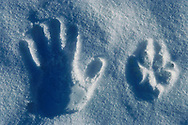 Wolf and hand prints in snow, Varmland, Sweden.