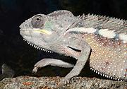Close-up of a Sambava panther chameleon (Furcifer pardalis sambava) walking on a tree branch. Baytree Reptile Centre Spalding Lincolnshire