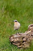 Male Wheatear bird, Oenanthe oenanthe,  on old log in Gloucestershire, UK