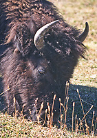 Bison grazing at Yellowstone National Park, Wyoming