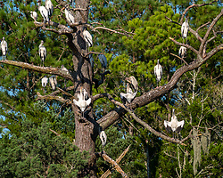 Wood Storks sunning in a big tree at Huntington Beach State Park, South Carolina. Image taken by Ed Aldridge with a NIKON Z 6_2 and 300mm f/2.8D at 300mm, ISO 100, f5.6, 1/500.
