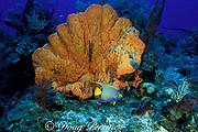 queen angelfish, Holacanthus ciliaris, and <br /> orange elephant ear sponge, Agelas clathrodes,<br /> Bahamas ( Western Atlantic Ocean )