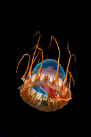 Helmet jelly (Periphylla periphylla) feeding.<br /> Location: Trondheim Fjord<br /> Periphylla periphylla is found in depths from about 1000 meters down to 7000 meters. During the night Periphylla migrates from between 60 and 200 meters they have been recorded in depths of only 2 meters. The main body of the Periphylla periphylla jellyfish can grown to 35cm with 12 tentacles growing to 50 cm in length. The Norwegian name for this jellyfish is kronemanet. The color varies from pale pink or orange to dark red.  Scientists believe they are long-lived (30 years?). The maximum recorded depth is 2700 metres.