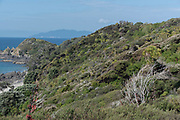Spring time shades of green, with flowering Manuka and Little Barrier Island in the backdrop.