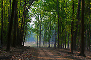 Driving through the beautiful sal-forest (composed by the species Shorea robusta) in Kanha National Park, India.