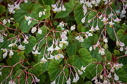 Begonia grandis subsp. evansiana var. 'Alba'