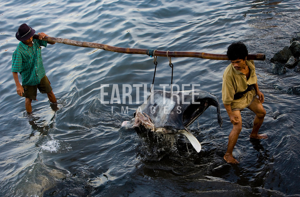 The head of dead manta is carried to a fish market in Lombok, Indonesia, 06 June 2007.
