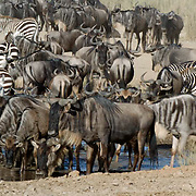 Wildebeest and Zebra drinking water from river. During migration in Serengeti National Park, more than 200,000 zebras migrate along side one million wildebeest and 300,000 Thomson's gazelles. Tanzania. Africa. February.