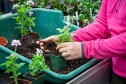 Potting up cuttings of scented leaved Pelargonium 'Attar of Roses' AGM - separating and putting into individual pots