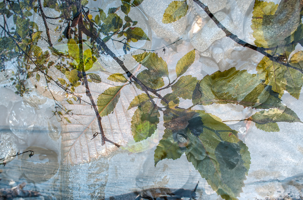 A multiple exposure image of red alder and a steam.