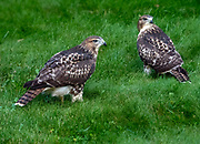 The juvenile red-tailed hawk siblings explore Central Park, NYC.