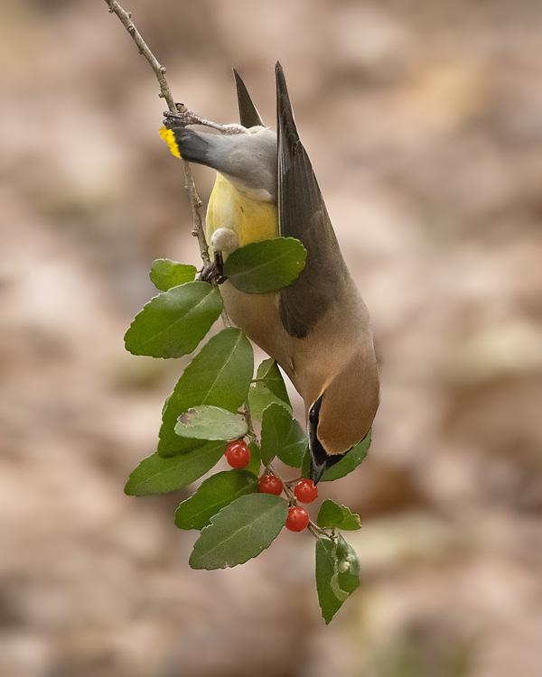 Bombycilla cedrorum, Travis County, Central Texas, February 2021. Eating native yaupon.