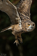 Pharaoh eagle owl inflight at the Center for Birds of Prey November 15, 2015 in Awendaw, SC.