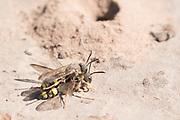 Ornate tailed digger wasps (Cerceris rybyensis) mating near nest burrow. Sussex, UK.