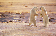 cutest-wildlife-photo-decor-by-world-travel-photographer-randy-wells-videographer-filmmaker-cinematographer-storyteller-writer-location-and-studio-specialist, Image of two polar bears (Ursus maritimus) playing in a snow field near Churchill in Manitoba, Canada