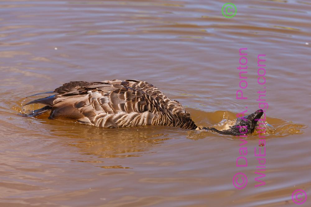 Hawaiian goose starts a bath by dipping its head in the water, Kauai, Hawaii, © David A. Ponton