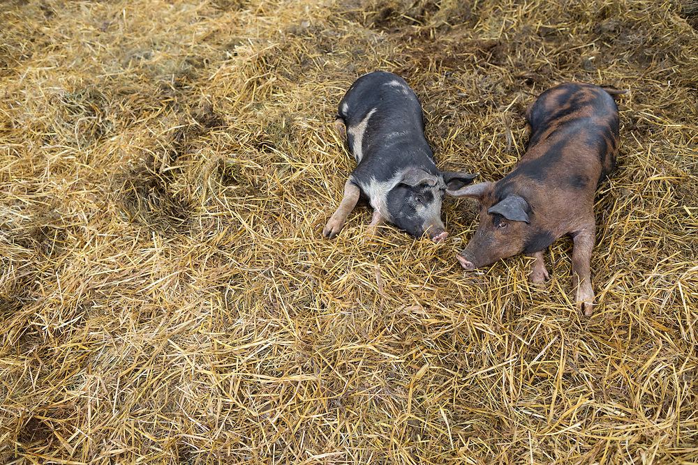 Two young pigs lounging in the barn