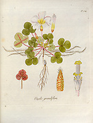 Woodsorrel (Oxalis grandiflora). Illustration from 'Oxalis Monographia iconibus illustrata' by Nikolaus Joseph Jacquin (1797-1798). published 1794