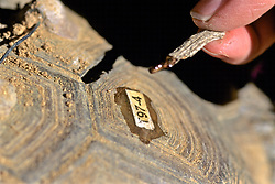Putting Id Tag On Desert Tortoise