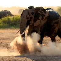 Africa, Kenya, Amboseli. Elephant in dust bath at Amboseli.