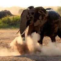 Africa, Kenya, Amboseli. Elephant in dust bath at Amboseli.