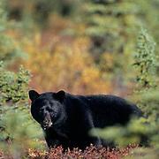 Black Bear, (Ursus americanus) Adult on tundra in Denali National Park. Autumn. Alaska.