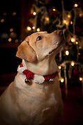 USA, Oregon, Keizer, Labrador Retriever in her Christmas gear. PR