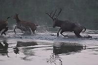 Père David's deer, or Milu, Elaphurus davidianus, stag running through the water of the Yangtze river while chasing females in the  Hubei Tian'ezhou Milu National Nature Reserve, Shishou, Hubei, China