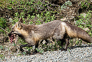 Red fox (Vulpes vulpes), Denali National Park, Alaska, USA. The red fox is one of the most widely distributed members of the order Carnivora, found across the entire Northern Hemisphere from the Arctic Circle to North Africa, North America and Eurasia. It comes in many colorings and sub-species. This versatile animal has colonized many suburban and urban areas.