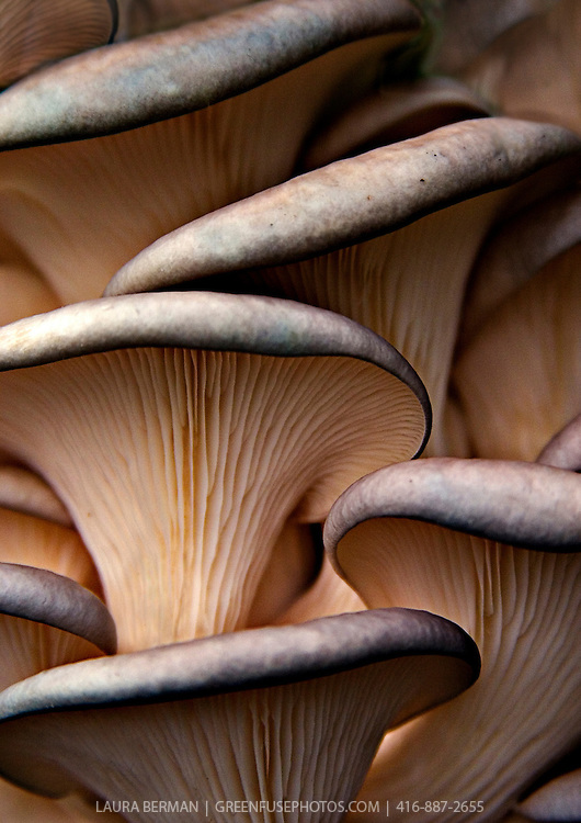 Photo of a group of oyster mushrooms (Pleurotus ostreatus) grown by Fun Guy Farms