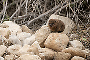 a lone Rock Hyrax, (Procavia capensis). Photographed in Israel