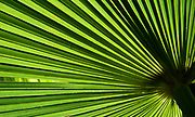 Close-up abstract of a large green palm leaf showing its bold lines and fan-like structure growing in the Gardens of La Mortella, Ischia, Italy