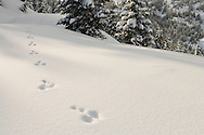 Snowshoe Hare, (Lepus americanus) tracks in the snow at Mountainview on the Mounta Tahoma Trails cross country ski and snowshoe hut-to-hut trail system in the Cascade Range near Mount Rainier, Washington state, USA.