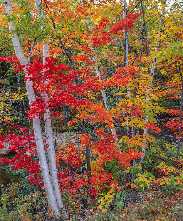 Maple leaves & paper birch tree trunks, fall colors, White Mountain National Forest, Jackson, NH