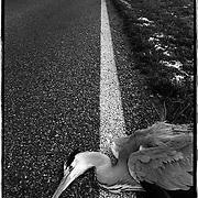 Nederland-Unumatil (GR)-03-05-1990.<br /> Dode reiger in de berm op provinciale weg.<br /> Foto: Sake Elzinga
