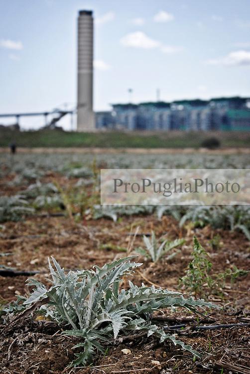 """Una coltivazione di carciofi nei pressi della centrale a carbone """"Federico II"""" a Cerano (BR). 21/09/2008 (PH Gabriele Spedicato)"""