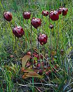 Spring bloom of Parrot Pitcher Plant, Sarracenia psittacina, Apalachicola National Forest, near Sumatrta, Florida.