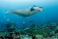 Divers observe a large Pelagic Manta Ray<br /> <br /> Shot in Indonesia