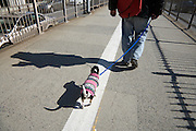 man walking with little dressed up dog, Brooklyn Bridge New York