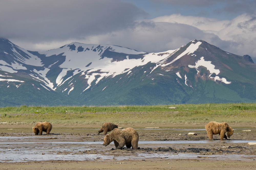 USA, Alaska, Katmai National Park, Hallo Bay, Brown Bears (Ursus arctos) digging for clams in tidal mud flats along Hallo Bay